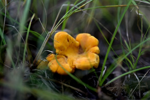 how to find chanterelle mushrooms